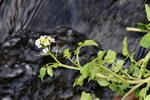Narrow-fruited Water-Cress (Nasturtium microphyllum)